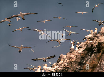 Seabirds;Gannets;(Sula bassanus) Non-breeding birds{The Club }fly around the colony all day. Bass Rock.Off the coast near North Berwick,Scotland - Stock Photo