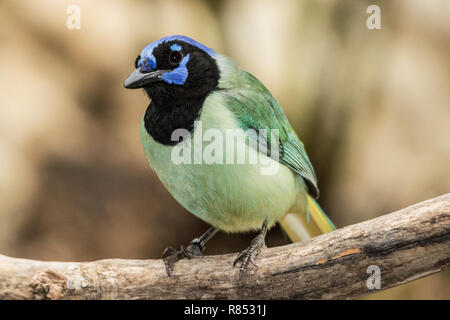 Adult Inca or Green Jay in outdoor aviary in South-west France. - Stock Photo