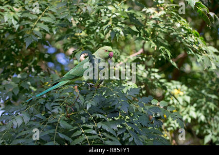 Rose-ringed Parakeet (Psittacula krameri) - Stock Photo