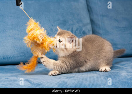 Gray British kitten plays with the furry orange toy on the blue sofa, the cat biting the toy. - Stock Photo