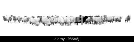 One black sheep standing in the middle of a flock of white sheep - Stock Photo