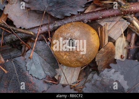 Scleroderma areolatum, Leopard Earthball fungus - Stock Photo