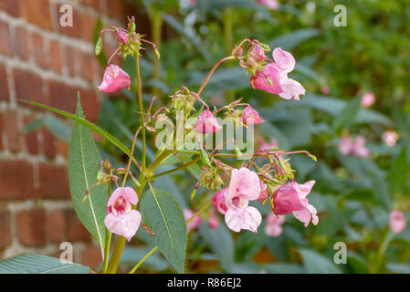 Pink impatiens glandulifera plant in garden Stock Photo