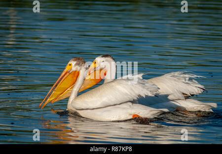 American White Pelicans (Pelecanus erythrorhynchos) swimming in Expo Park pond, Aurora Colorado US. - Stock Photo