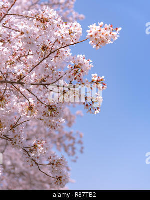 Cherry blossoms will start blooming around the late March in Tokyo, Many visitors to Japan choose to travel in cherry blossom season.