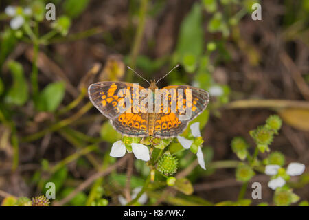 Pearl Crescent, Phyciodes tharos - Stock Photo