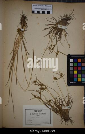 Carex oederi subsp. oederi herbarium (4). - Stock Photo