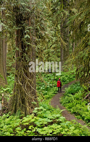 WA15505-00...WASHINGTON - Hiker in the temperate rain forest along the Old Mine Trail accessed from the Carbon River Road/Trail in Mount Rainier Natio - Stock Photo