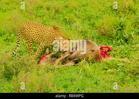 One adult male of cheetah eats a young Gnu or Wildebeest in the vegetation of Tarangire National Park, Tanzania, Africa. - Stock Photo