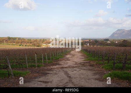 path through vineyard and grapevines during Winter at Groot Constantia in Cape Town, South Africa - Stock Photo