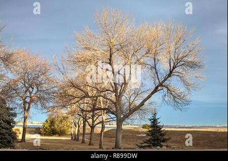 Green Ash trees in mid winter bathed in afternoon sunlight. - Stock Photo