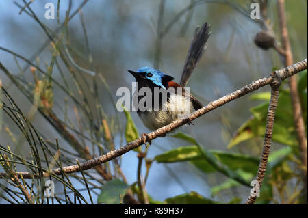 A slightly wet Australian, Queensland Male Variegated Fairy-wren ( Malurus lamberti ) perched on a tree branch - Stock Photo