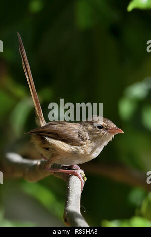 An Australian, Queensland Female Red-backed Fairy-wren ( Malurus melanocephalus ) perched on a tree branch - Stock Photo