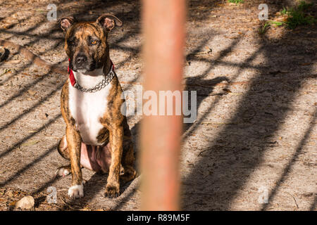 Staffordshire terrier cross - Stock Photo