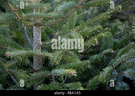Foliage of Abies nordmanniana - Stock Photo