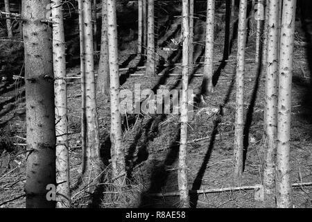 Coniferous forest near Bad Karlshafen, Upper Weser Valley,  Weser Uplands, Weserbergland, Hesse, Germany, Europe - Stock Photo