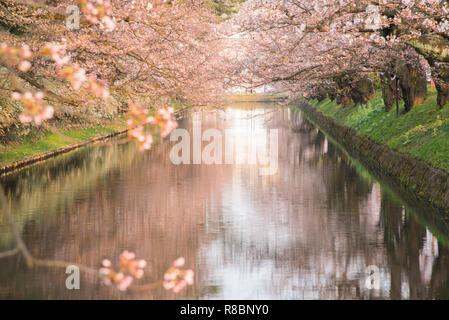Cherry blossoms at the Hirosaki Castle Park in Hirosaki, Aomori, Japan - Stock Photo