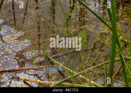green spotted frog sitting in reeds and water - Stock Photo
