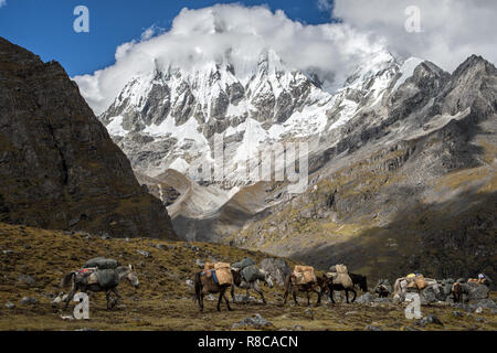 Mules and horses at the foot of Gangchhenta (Great Tiger Mountain), Gasa District, Snowman Trek, Bhutan - Stock Photo