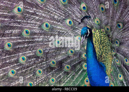 Peacock spreading his wings outdoors in nature - Stock Photo