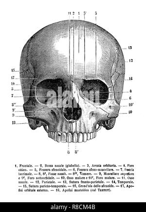 Vintage illustration of anatomy, human skull frontal view,  anatomical descriptions in Italian - Stock Photo