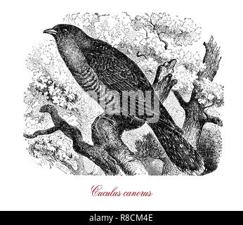 Vintage engraving of common cuckoo, endangered and migrant bird so named from the male call or song - Stock Photo