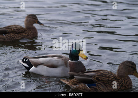 Side View of a floating Mallard Ducks (Anas platyrhynchos) on the Water - Stock Photo