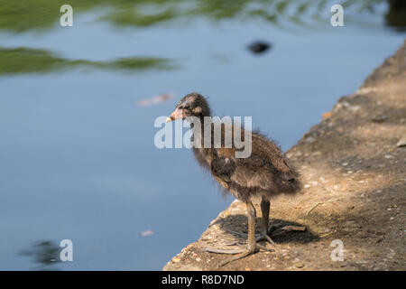 Close-up of a young Eurasian Coot (Fulica atra) Chick at the Lake. - Stock Photo