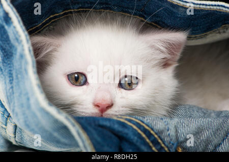 British shorthair kitten in a jeans - Stock Photo