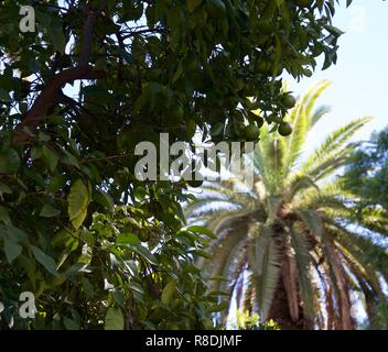 Clusters of green, unripe oranges growing on a shaded bush. A palm tree is in the sun in the background - Stock Photo