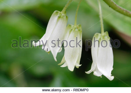 Smiths Fairy Bell (Disporum smithii), white flowering wildflower in full bloom, Patricks Point State Park, California, USA - Stock Photo