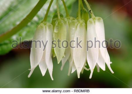 Smiths fairy bells (Disporum smithii), Sweet Creek trail, Siuslaw National Forest, Oregon, USA - Stock Photo
