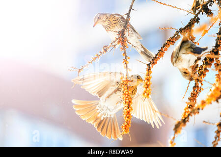 beautiful birds in a sunny, frosty day eat sea buckthorn, winter period - Stock Photo