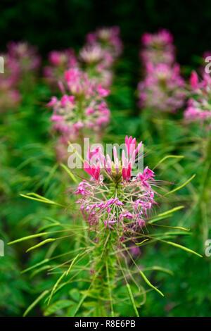 Cleome hassleriana Rose Queen,spider flower,pink,flowers,tender,annual,bedding plant,garden,gardens,RM Floral - Stock Photo