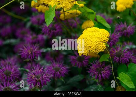 achillea filipendulina moonshine, yellow fernleaf yarrow,Monarda didyma Dark Ponticum, bee balm, bergamot, purple, flowers ,flower ,flowering, perenni - Stock Photo