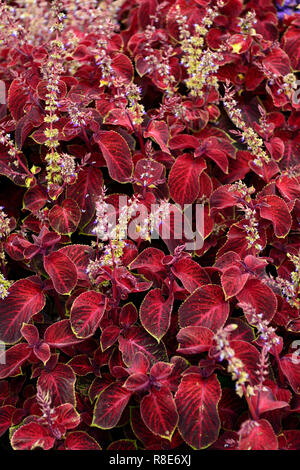 Solenostemon scutellarioides, Coleus wizard,Velvet red Coleus,tender,annual,bedding plant,garden,gardens,RM Floral - Stock Photo
