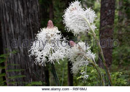 Beargrass (Xerophyllum tenax), Lookout Creek Trail, HJ Andrews Forest, Willamette National Forest, Oregon, USA - Stock Photo