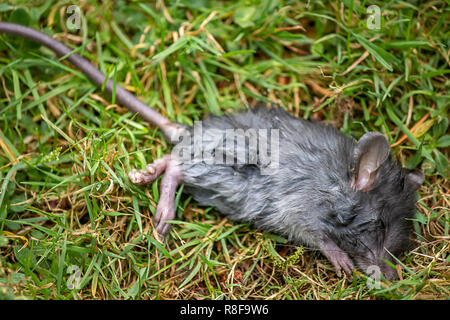 dead mouse with long tail on grass in summer - Stock Photo