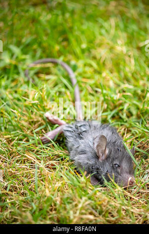 vertical of dying gray rat in grass - Stock Photo