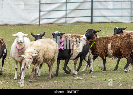 a group of multicolored sheep being herded - Stock Photo