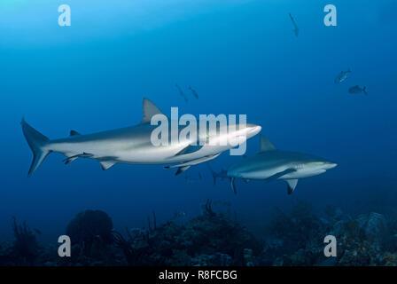 Zwei Karibische Riffhaie (Carcharhinus perezi) patrouillieren an einem Korallenriff,  Roatan, Bay Islands, Honduras | Two Caribbean Reef Sharks (Carch - Stock Photo