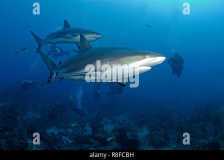 Taucher beobachten zwei Karibische Riffhaie (Carcharhinus perezi) an einem Korallenriff,  Roatan, Bay Islands, Honduras | Scuba diver watches two Cari - Stock Photo