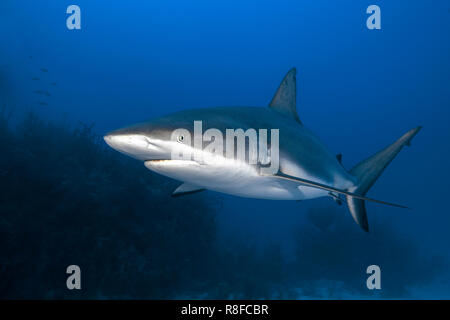 Caribbean Reef Shark (Carcharhinus perezi) patrols at a coral reef, Jardines de la Reina, Cuba - Stock Photo