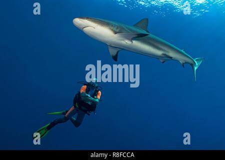 Taucher beobachtet einen Karibischen Riffhai (Carcharhinus perezi) im blauen Wasser, Jardines de la Reina, Kuba | Scuba diver watches a Caribbean Reef - Stock Photo