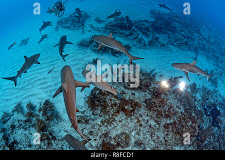 Caribbean Reef Shark (Carcharhinus perezi), group swimming over a coral reef, Grand Bahama, Bahamas - Stock Photo