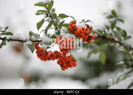 Red bunches of Rowan covered with the first snow. Sorbus dacica - Stock Photo