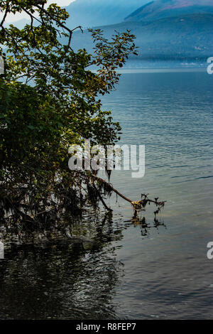 large tree laying down on its side in the waters of the puget sound - Stock Photo