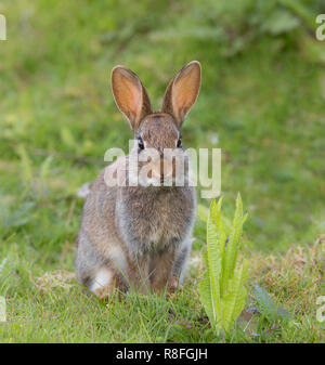 Very detailed close up (almost square format) of extremely cute, wild rabbit, sat alert upright on grass, facing forward, in outdoor natural setting. - Stock Photo
