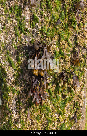 Close up of seaweed growing from the wooden groynes on the beach
