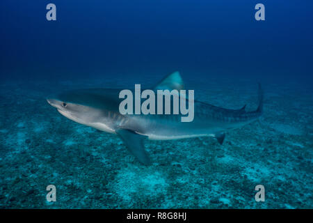 Tiger Shark: Cocos Island - Stock Photo